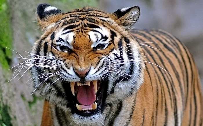 essay on tigers in india