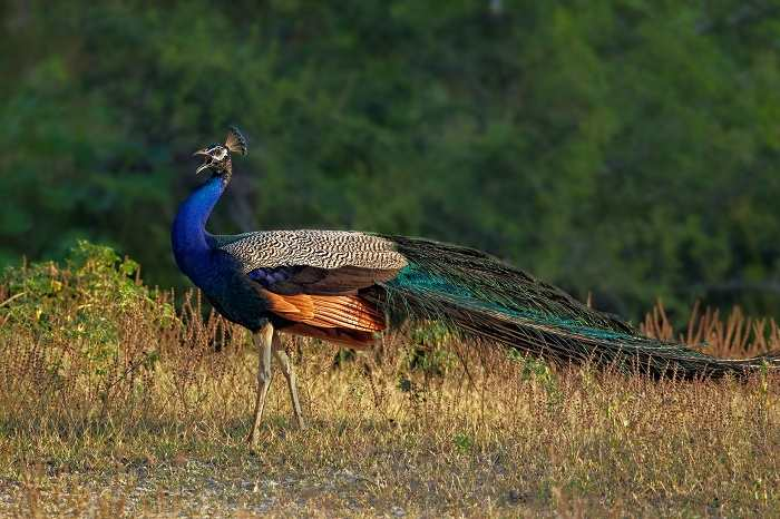 essay on national bird peacock in hindi language