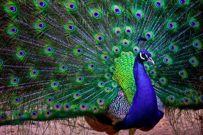 the national bird peacock essays National in essay bird english peacock essay writing cheap uk basketball schedule essay mexican drug war newspaper essay brainstorming online payments persuasive.