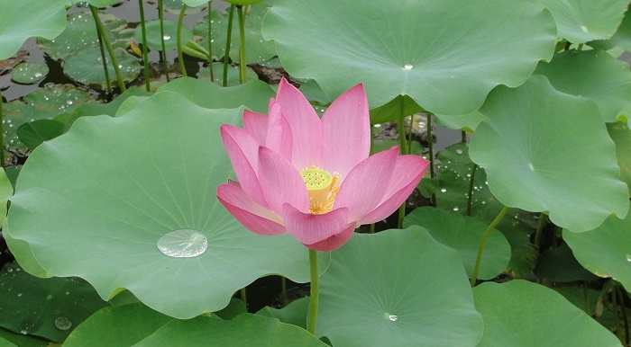national flower of india lotus  an essay, Natural flower