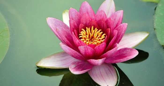 National flower of india lotus an essay image credit httpflowerseerclassicsnational flower lotus in kannada mightylinksfo