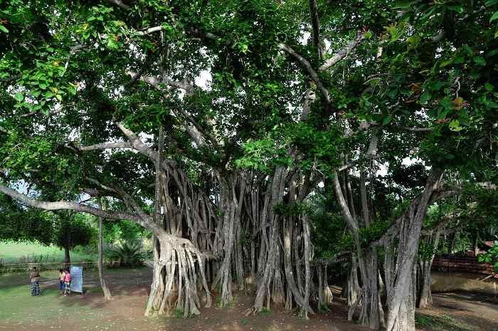 banyan tree 2 essay After applying the vrin criteria to the resources given in the case, 3 key intangible resources have been identified in helping banyan tree (bt) achieve.