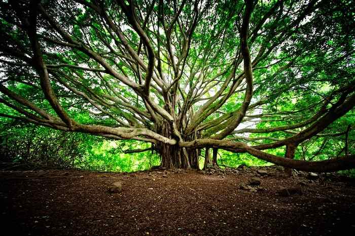 National Tree of India (Banyan) - An Essay
